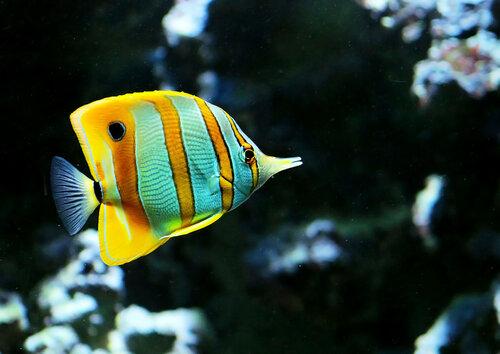Рыба - бабочка