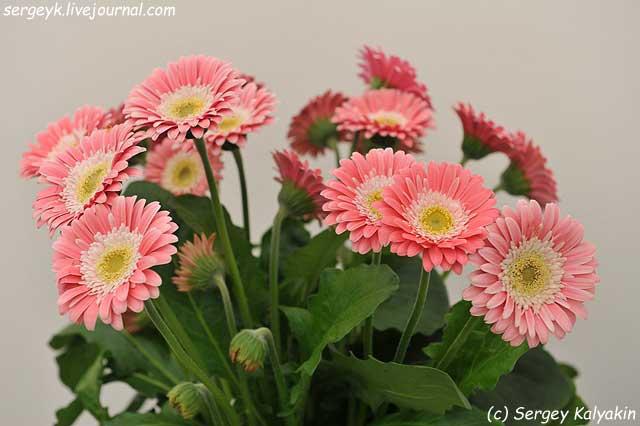 Gerbera Garvinea Sweet Memories (2).JPG