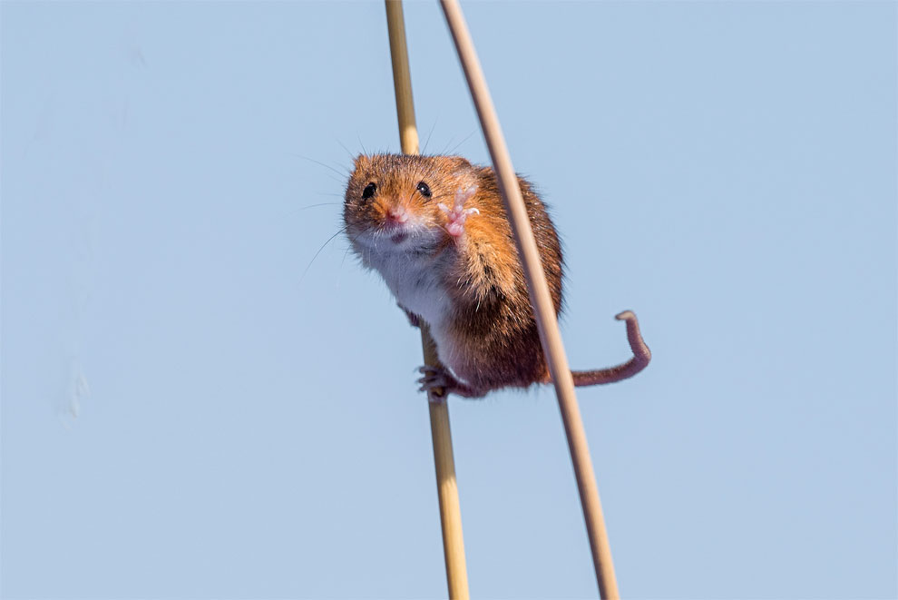 Мышь полевая. Фото: Michael Erwin.