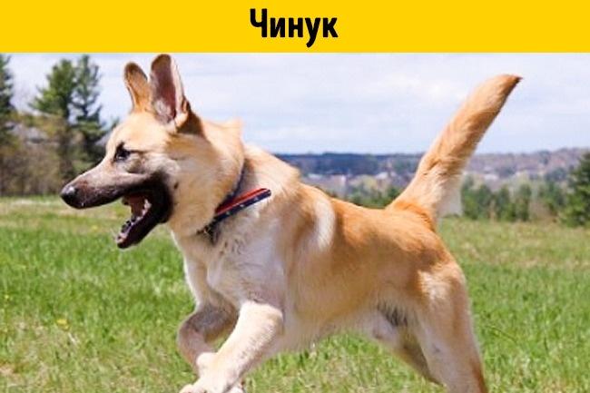 Это редкая порода собак, выведенная вначале прошлого века. Собачьих пор