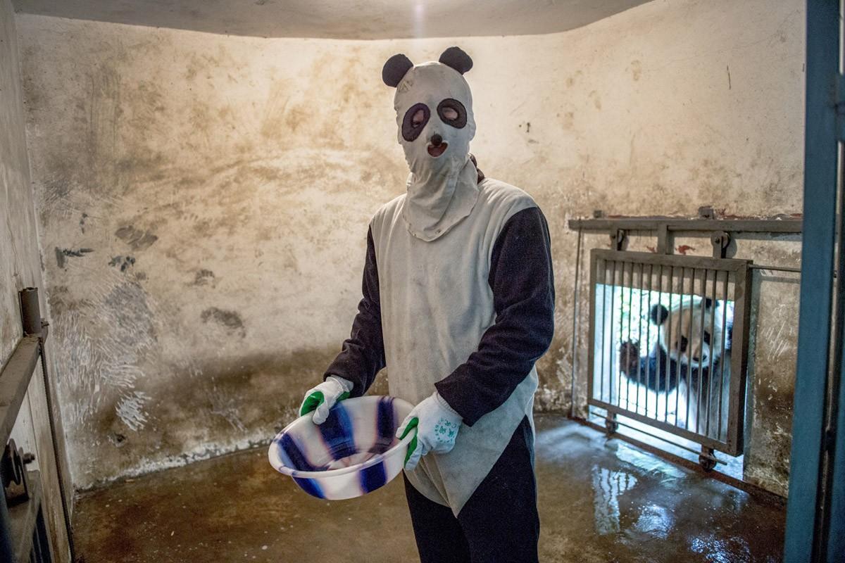 Смотритель в костюме панды в вольере. Житель вольера — на заднем плане. (Ami Vitale)