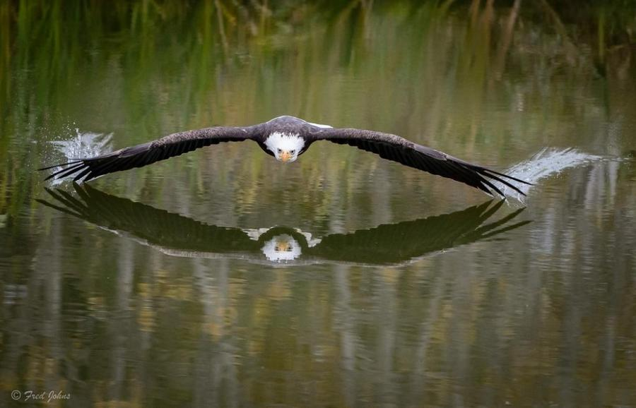 17. Парящий над водой орел в Канаде