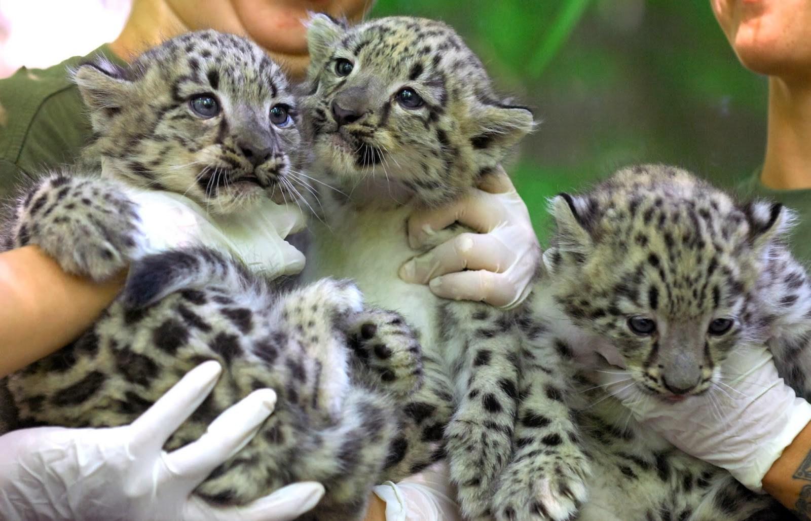 Стал известен пол котят переднеазиатских леопардов, имена которым выбирает вся Россия