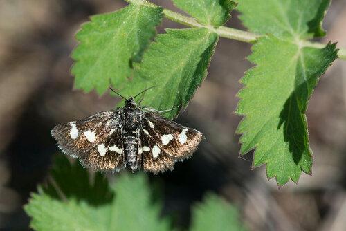 Мотылёк красивый (Eurrhypis pollinalis) Автор: Владимир Брюхов