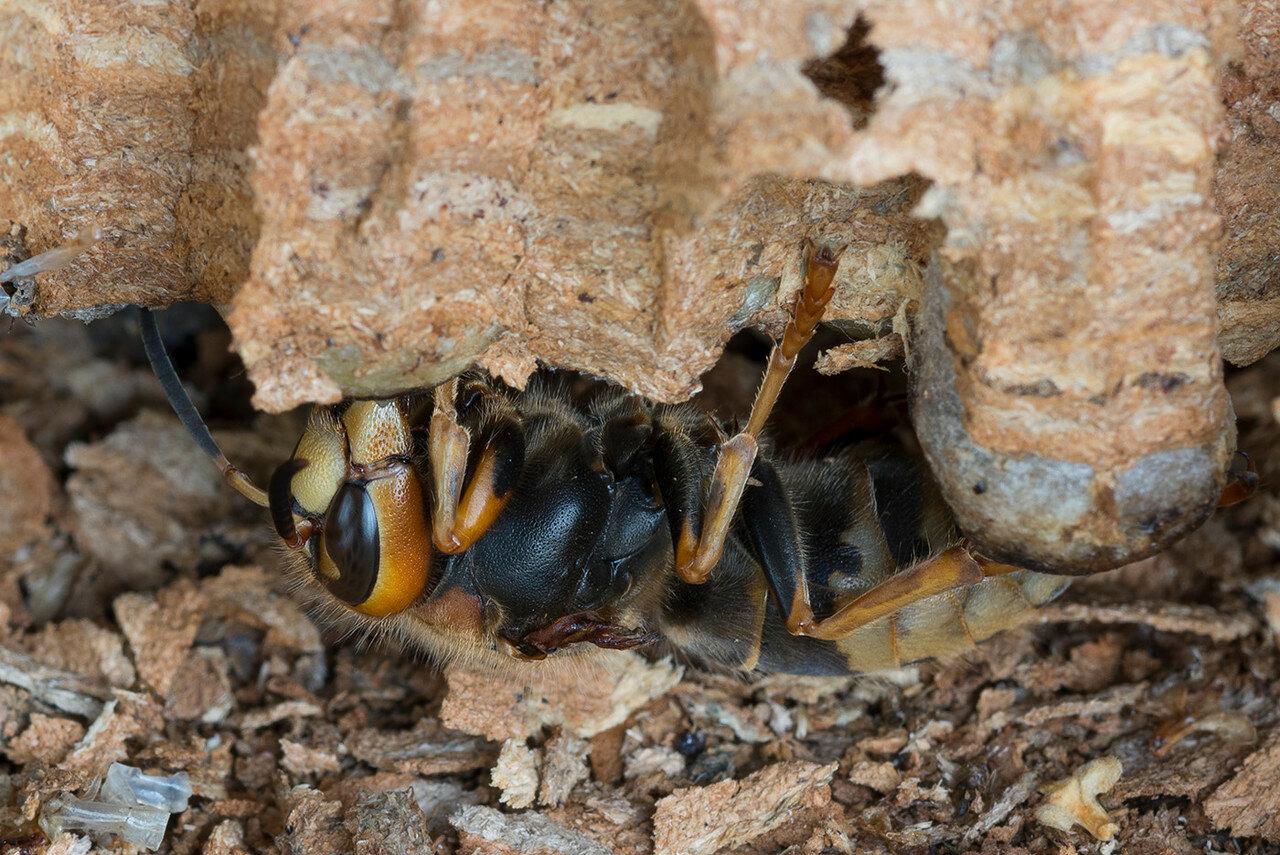 Шершень обыкновенный (Vespa crabro). Автор фото: Владимир Брюхов