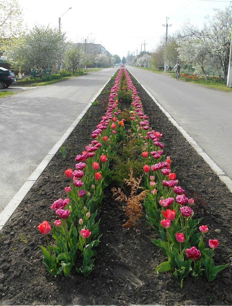 Тюльпаны, уходящие в бесконечность... DSCN5127.JPG