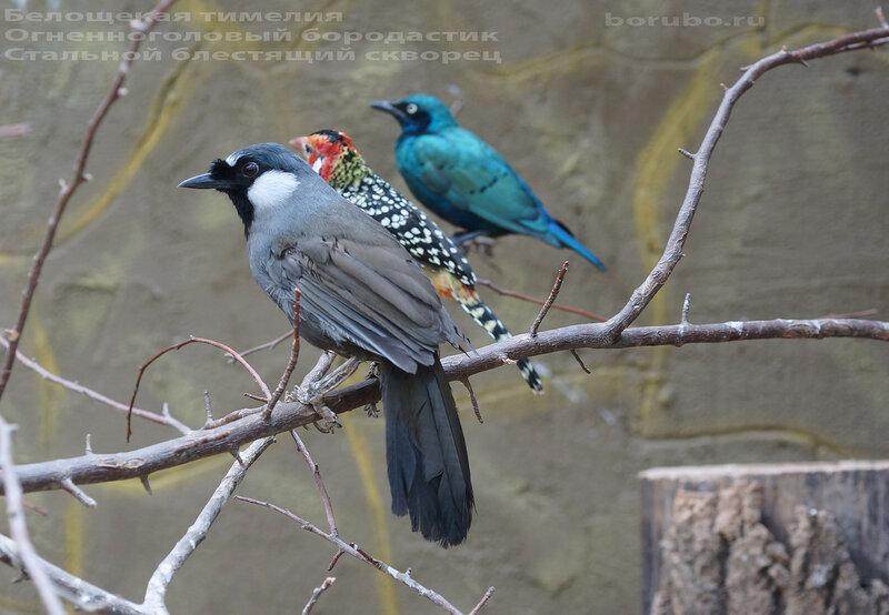 Lamprotornis chalybaeus и другие птицы