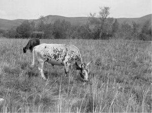 Крупный рогатый скот у реки Текес