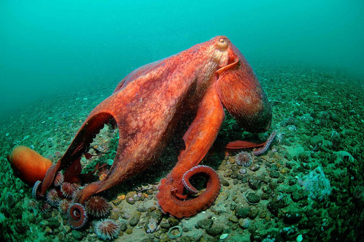 У одного из видов осьминогов половой член отделяется