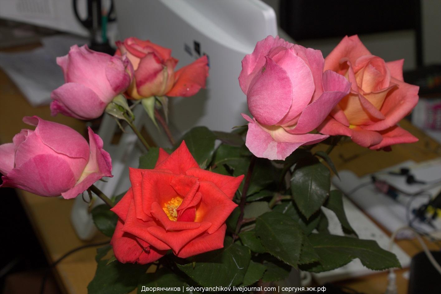 Розы  раскрыли бутоны - 19 октября 2016