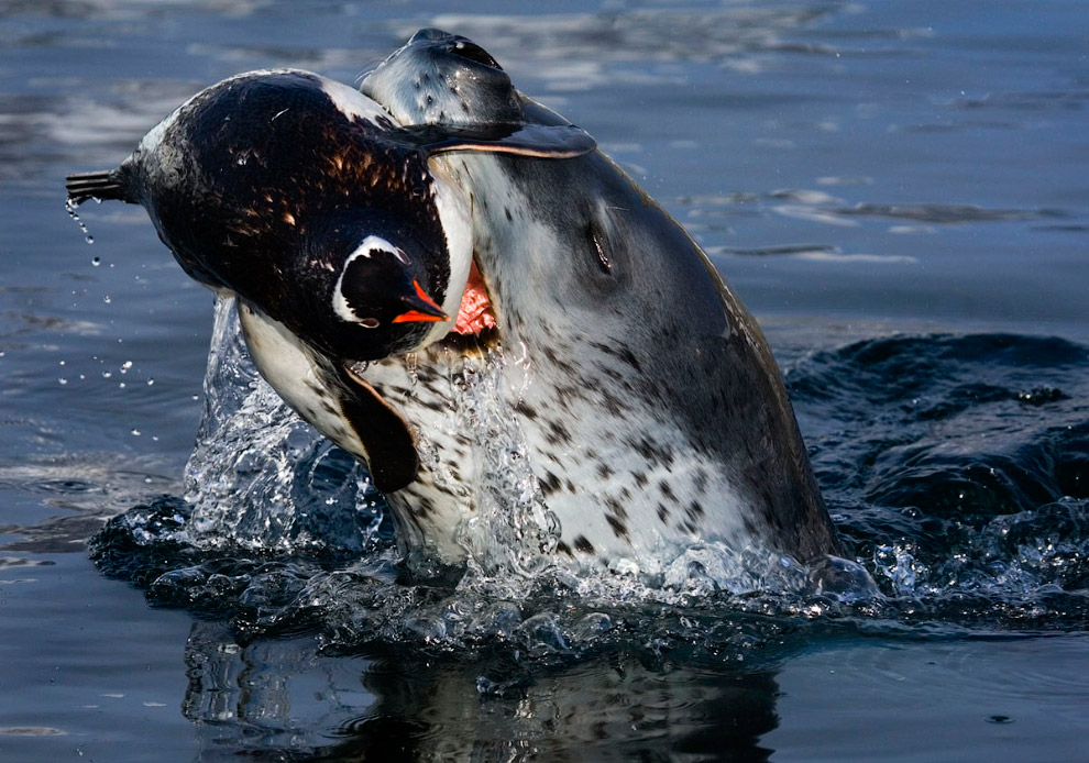 24. Пингвин, выпрыгивающий из воды на льдину.