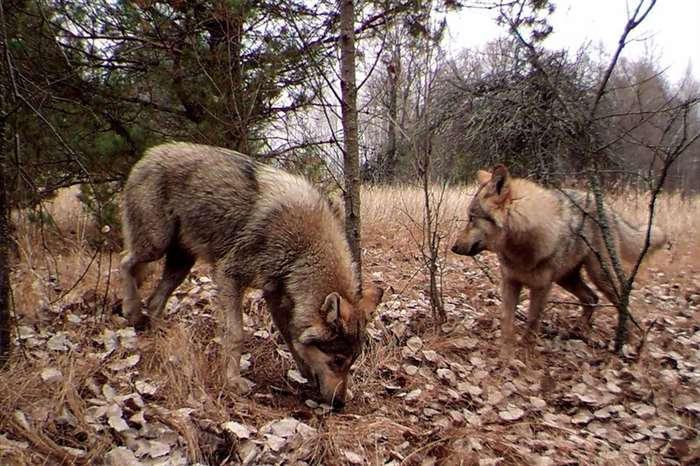 Фотографирование волка с помощью скрытой камеры, когда вольный хищник ловил рыбу.