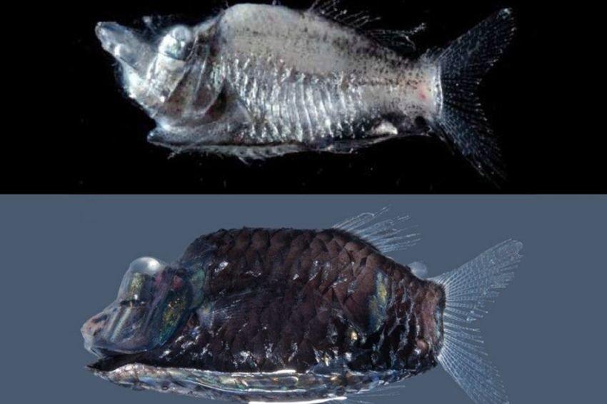 Вглубинах океана найдены неизвестные «рыбы-невидимки»