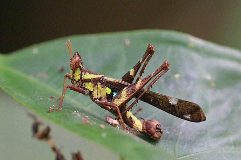 Саранчовый рода Erianthus (Chorotypidae) с желтым с тёмными полосами тельцем, белыми пятнами на длинных крыльях, удлинённой головой и катафотами на спине