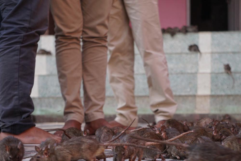 Храм Святых Крыс в Индии