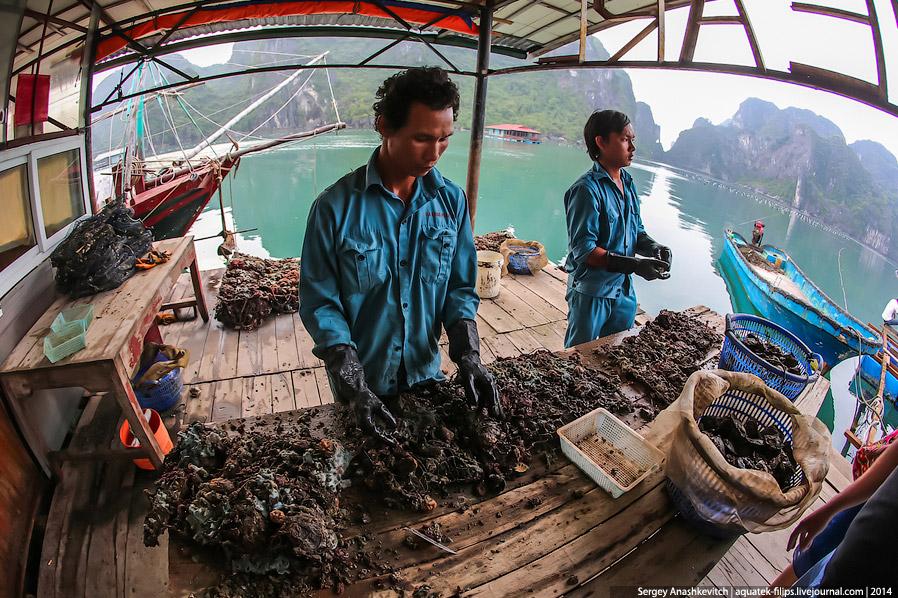 9. Здесь рабочие отделяют моллюсков от сетки и очищают от налипшего за многие месяцы дополнительного