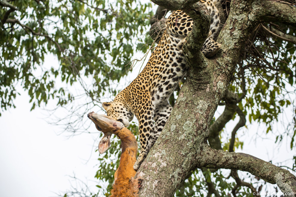5. Пятна на шкуре каждой особи уникальны. По ним можно легко отличить одного леопарда от другог