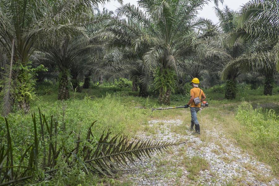 3. Вот так выглядит пальмовая плантация.