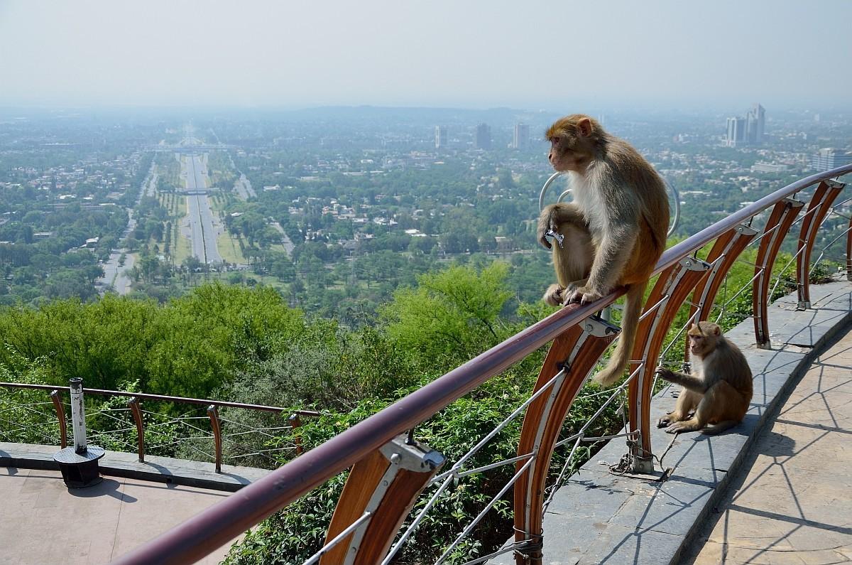 На склонах горы Margalla Hills над Исламабадом возвышаются смотровые площадки, где живут вот такие з