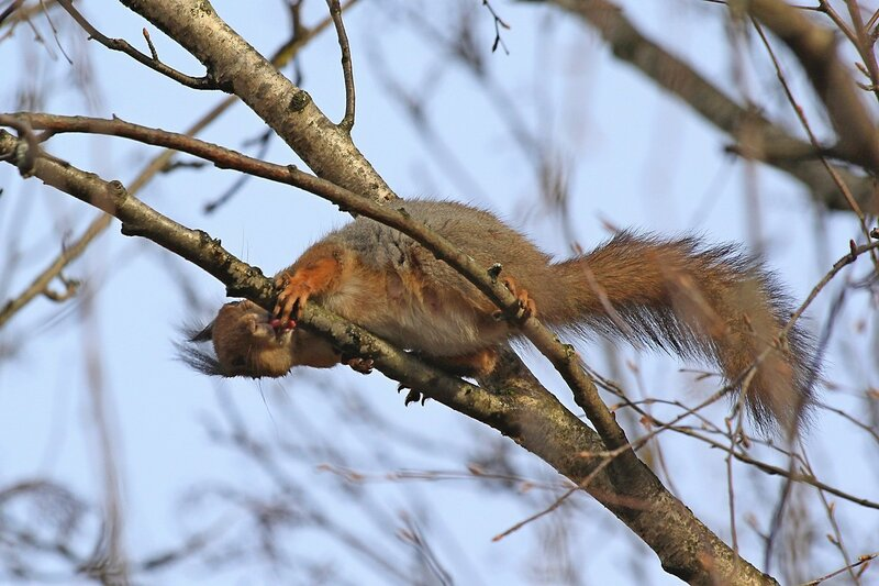 Белочка слизывает березовый сок с ветки дерева - Чем питаются белочки ранней весной