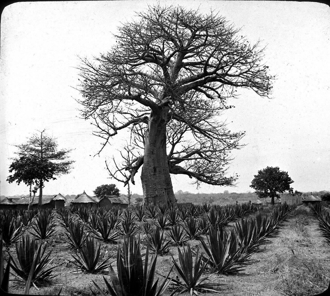 Берег Слоновой Кости. Бадикаа. Плантация агавы
