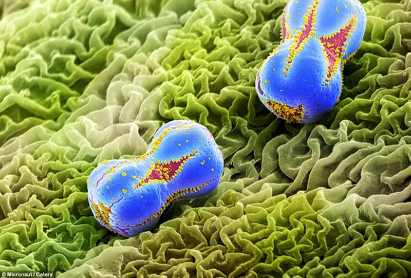17. Увеличенный снимок пыльцы незабудки. (MICRONAUT / CATERS NEWS)