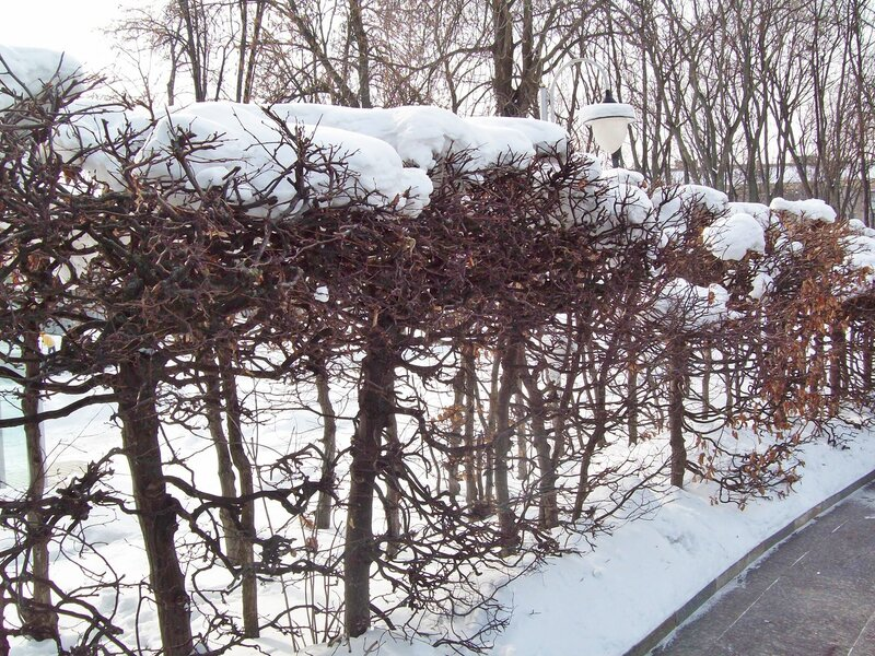Снег на декоративных кустах парка Славы