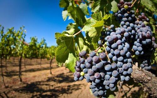 В Молдове обяжут регистрировать плантации винограда