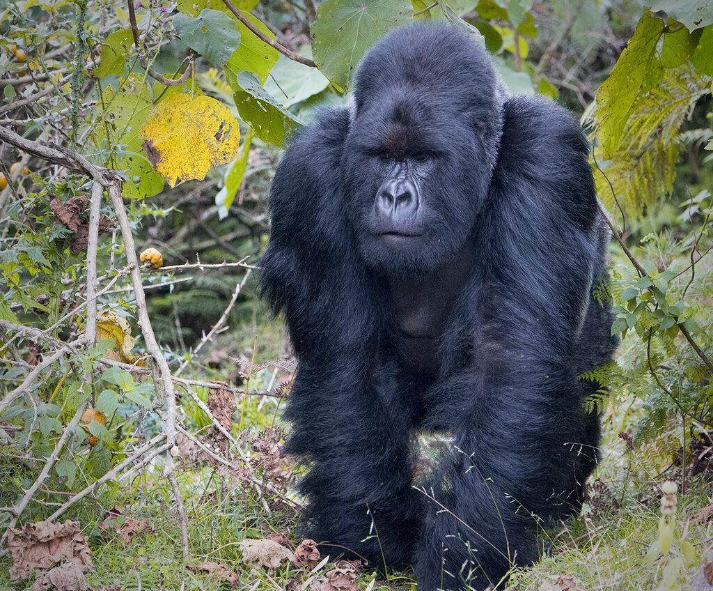вязанию картинки про горилл поднялись последний, пятый