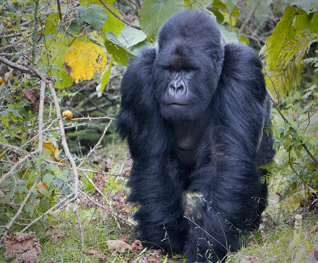 картинки про горилл