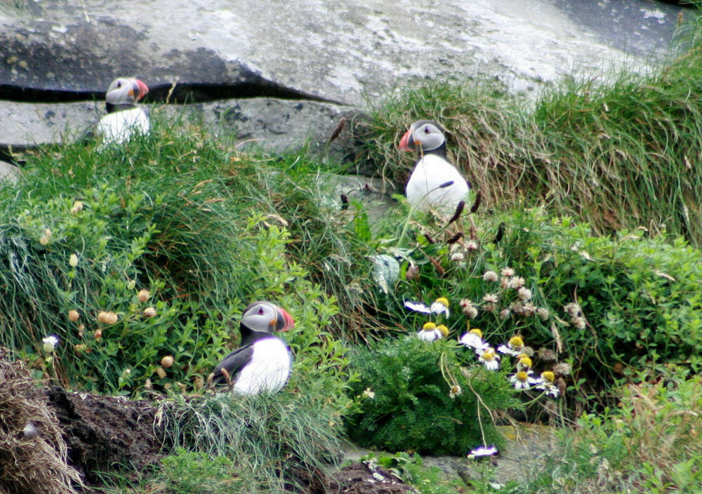 Puffin_-cliffs_of_Moher_resize.JPG