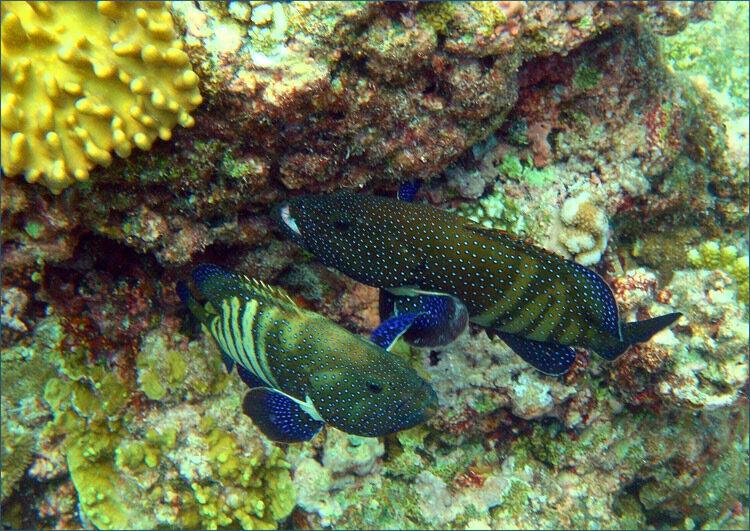 Павлиний групер (Cephalopholis argus)