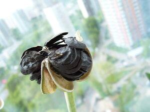 Всего лишь семена гипеаструма*