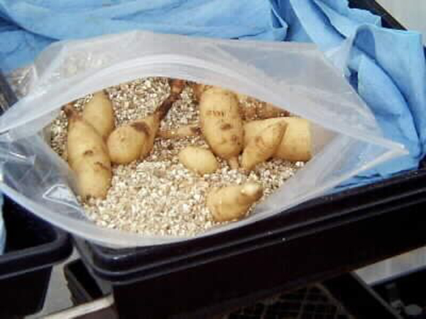 Как правильно выкопать георгины осенью и подготовить их к зимнему хранению