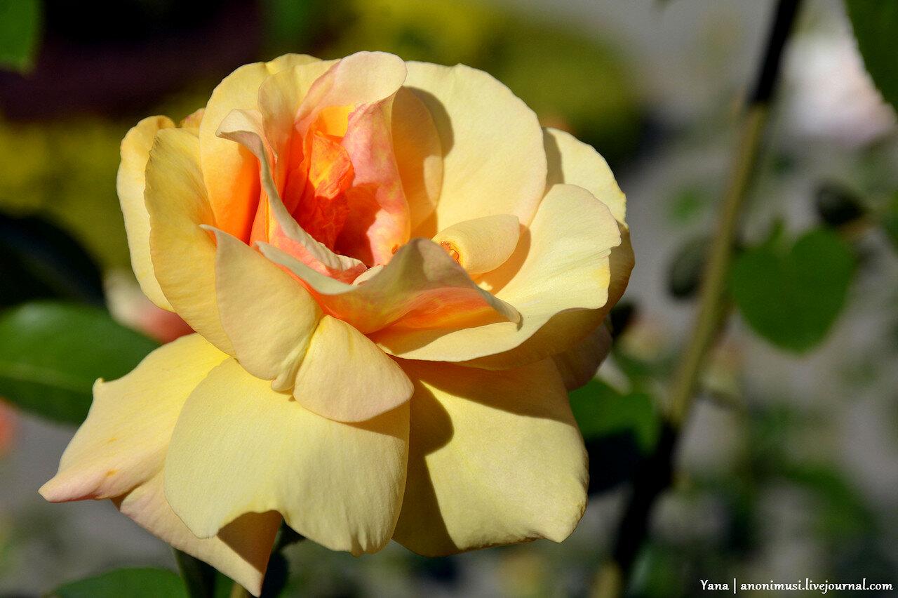 Живые розы
