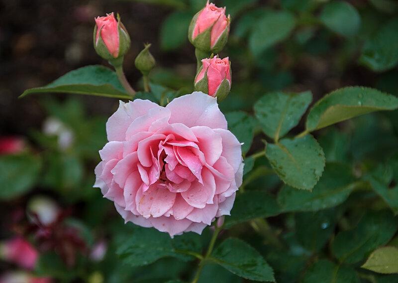Розовый букет прекрасный свежийВосхищает и волнует кровь.Только аромат цветочный, нежныйЛишь в саду готов дарить любовь.