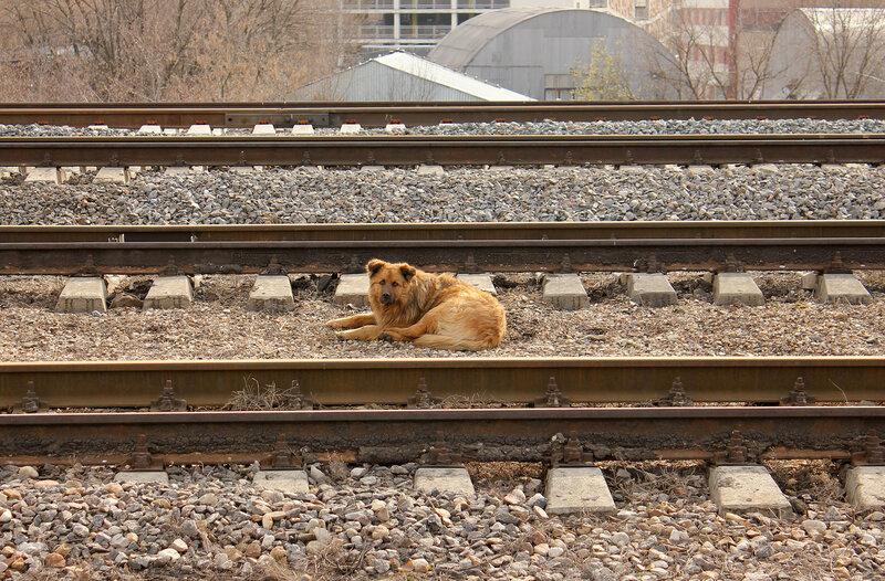 Собака на станции Ростокино