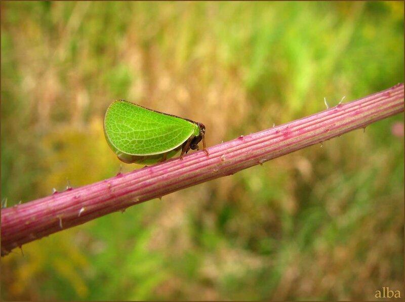 Ползучий листик - Acanaloniid Planthopper - Acanalonia bivittata, Homoptera