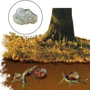 Где растет трюфель