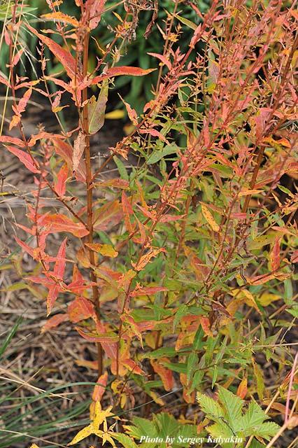 Lythrum virgatum Dropmore Purple.JPG