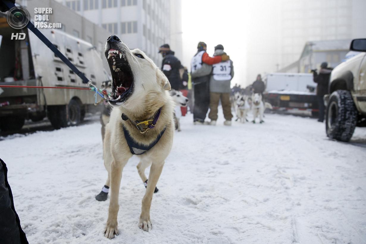 США. Анкоридж, Аляска. 1 марта. Собаке не терпится пуститься в дорогу. (REUTERS/Nathaniel Wilder)