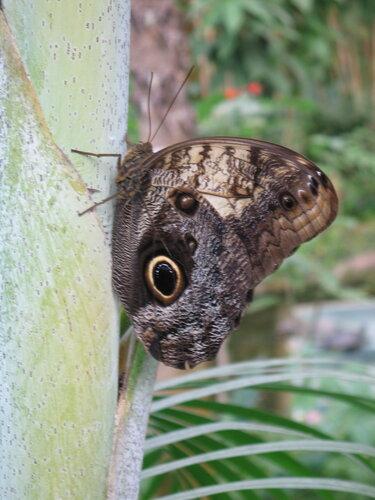 Бабочкарий в Икод