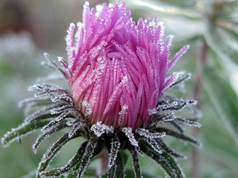 Замерзшая хризантема
