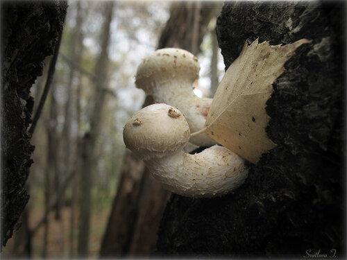 Чешуйчатка разрушающая (Pholiota destruens) Автор фото: Татьяна Светлова