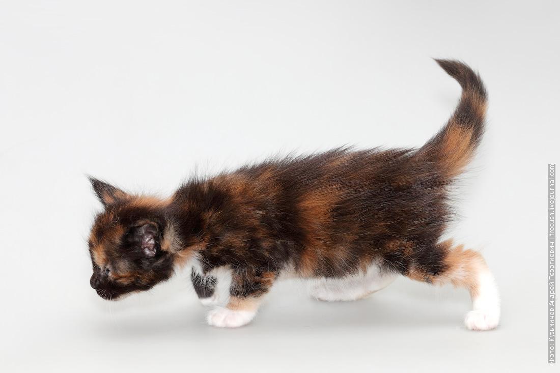 котенок мейн-кун в москве