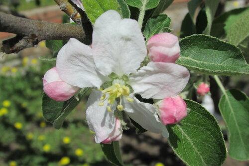 Яблоневый  цветок.