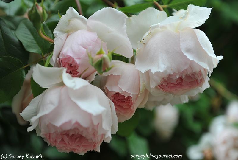 Rosa The Wedgwood Rose (1).JPG