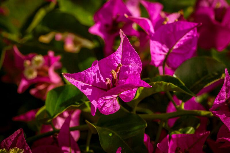 Бугенвиллия в цвету...