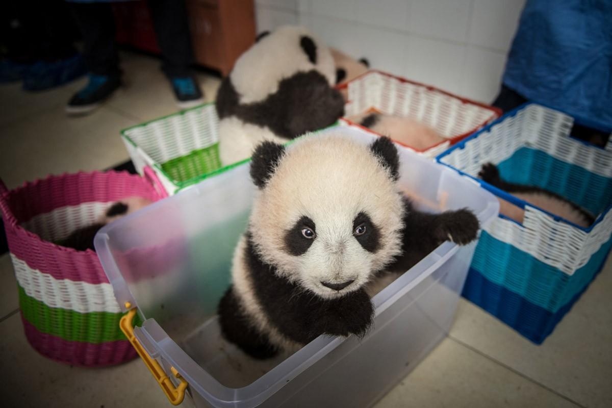 Родившаяся в неволе панда в корзинке готовится к переезду из здания в центр разведения в провинции С