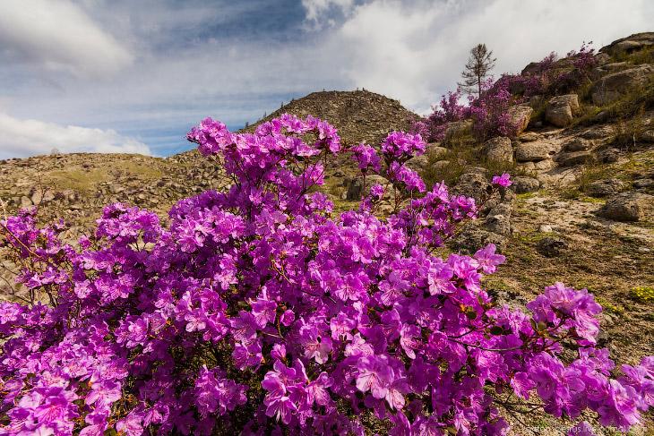 Цветущий маральник на Алтае (18 фото)